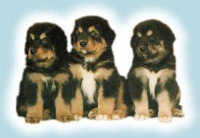 Adorable Saras Puppies